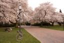 Trees blooming at University of Washington